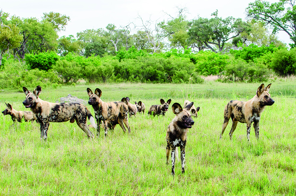 Notoriously shy, wild dogs on the hunt are a rare sight