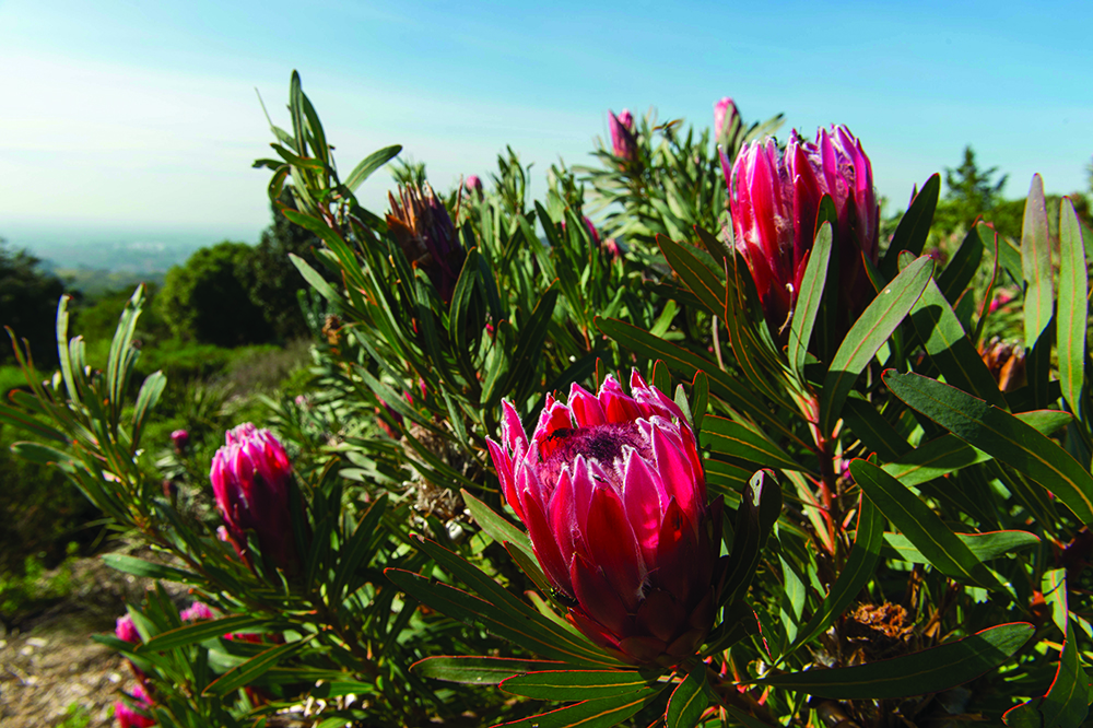 Magnificent proteas in bloom. Photo by Wolfgang Kaehler/LightRocket via Getty Images