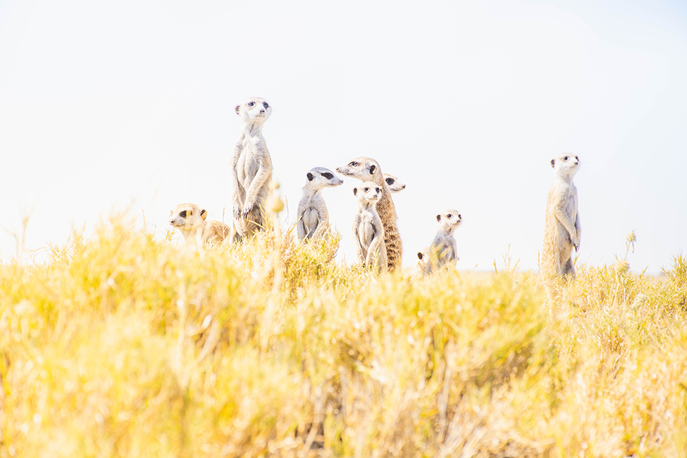 The Makgadikgadi's habituated meerkats will charm even the most well-travelled safari lover