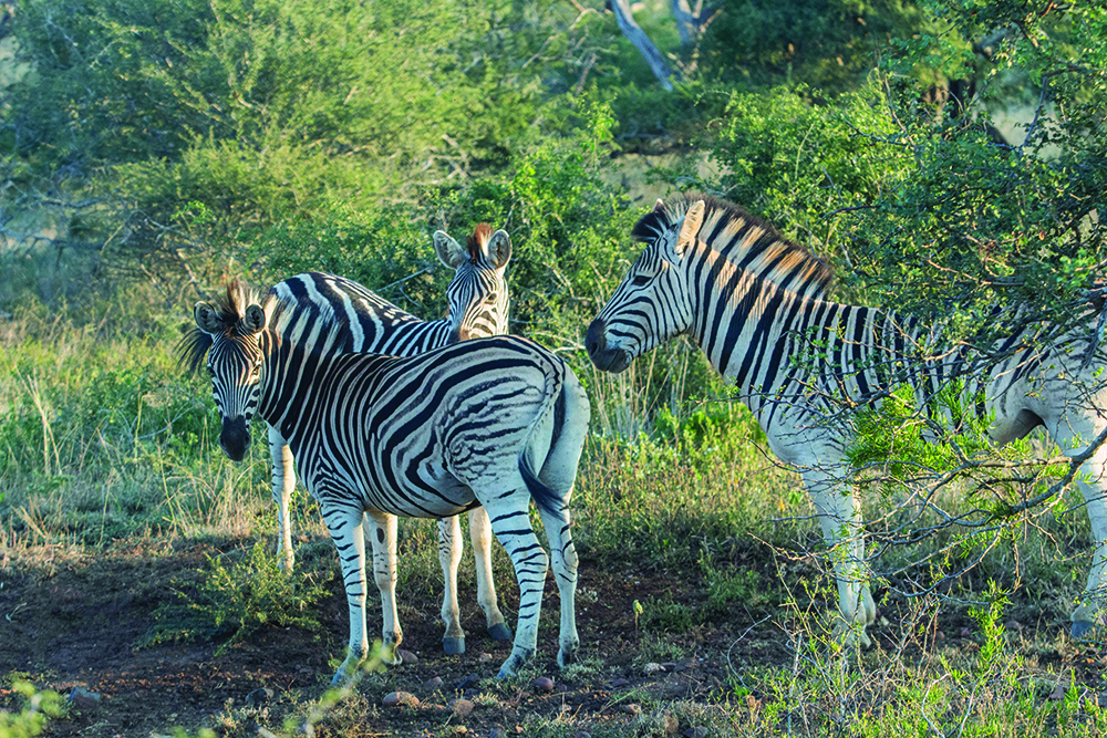 Look out for Zebras on your game drive