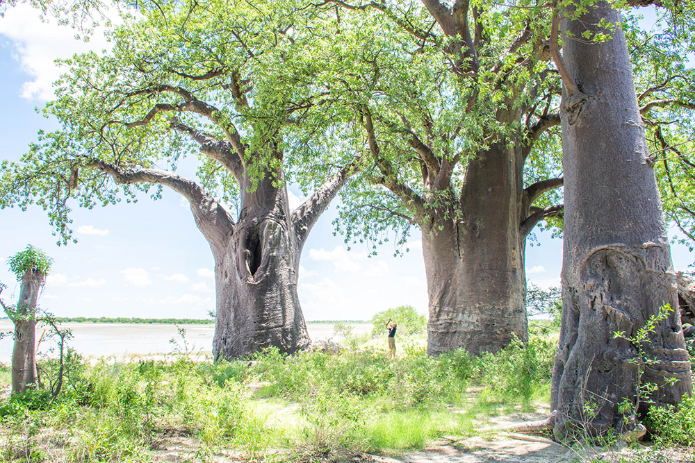 The Nxai Pan baobabs