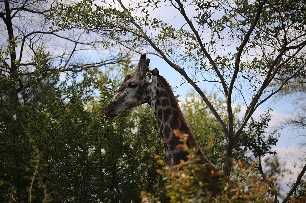 A giraffe in the Victoria Falls National Park