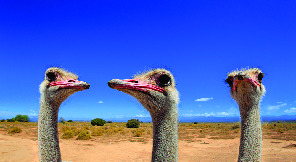 South African ostrich (Struthio camelus australis)