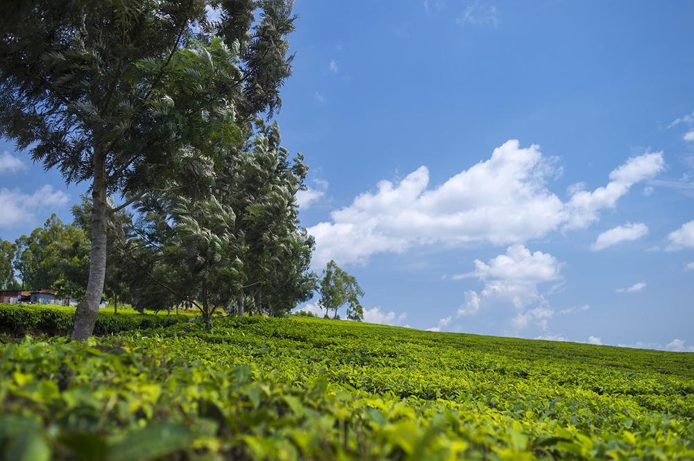 A tea plantation in Uganda