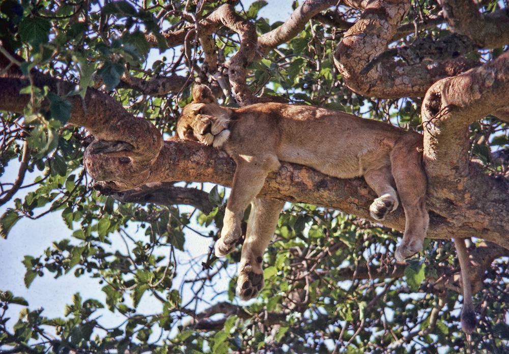 Climbing lion cub Uganda