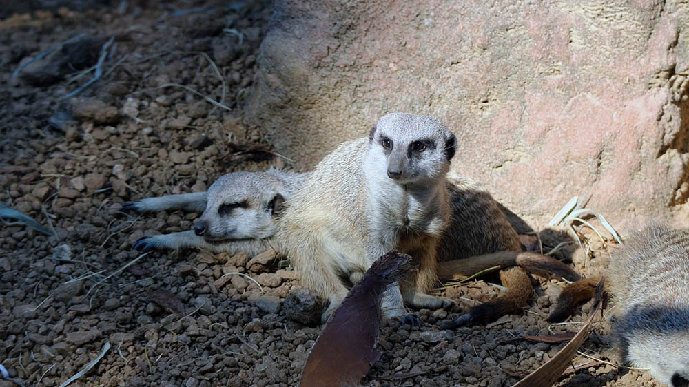 Meerkat in the zoo Image by Amy Hunter from Pixabay
