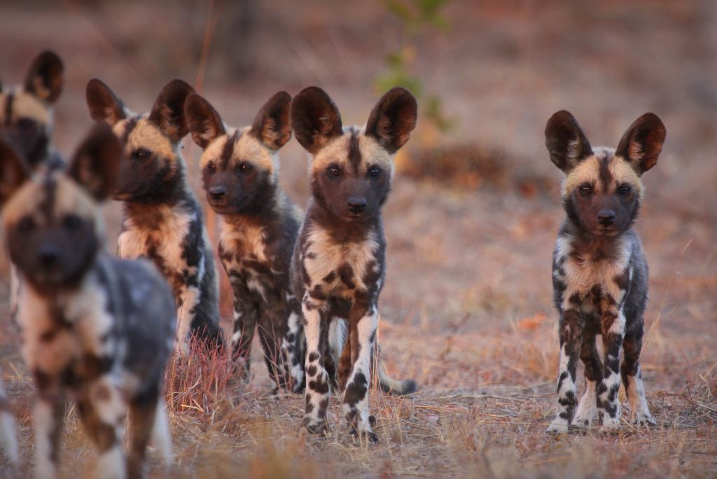Lapalala Wilddog pups. Photo: Annemieke Muller